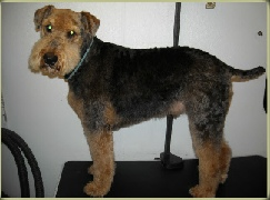 Airedale Terrier Breed Info