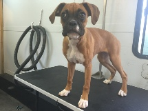 Boxer Breed Info