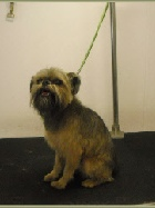 Brussels Griffon Breed Info