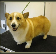 Cardigan Welsh Corgi Breed Info