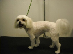 Maltese Breed Info