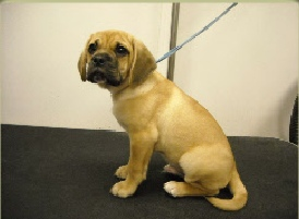 Puggle Mobile Breed Info