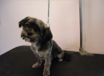Shorkie Mobile Breed Info