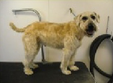 Wheaten Terrier Breed Info